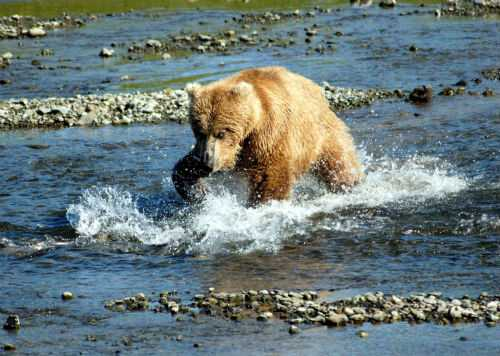 Bear_Alaska_2