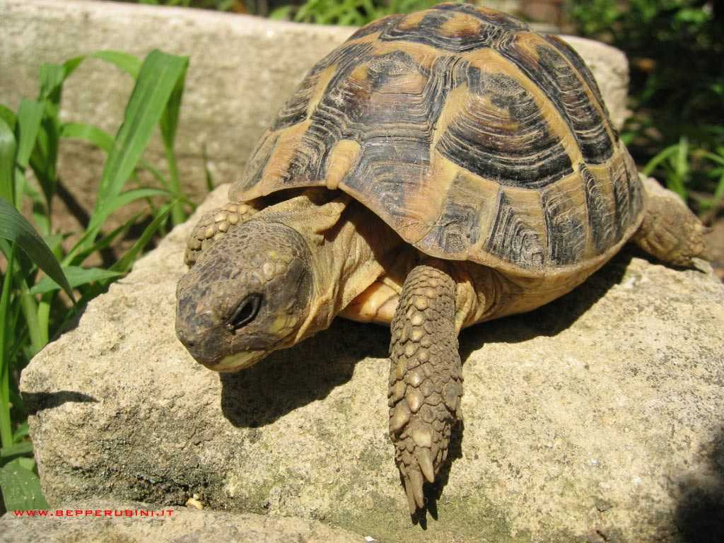 Resultado de imagem para tartaruga