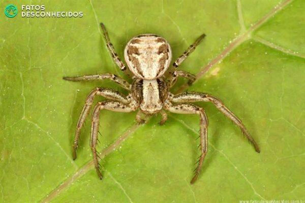 gdr-xysticus-cristatus-05149