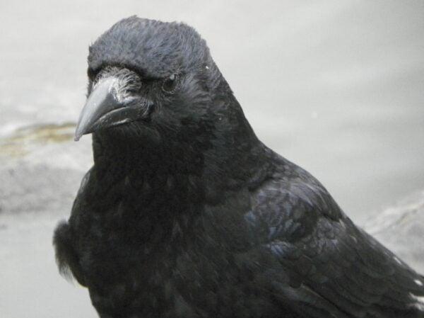 Carrion_Crow_aka_Corvus_corone