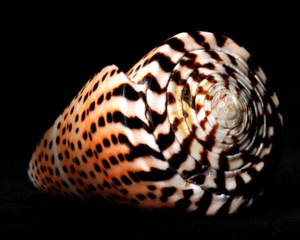 Conus_Litteratus_Madagascar