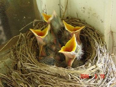 babybirds-miller-061705-tm