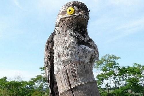 Potoo-Bird