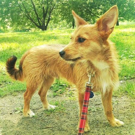 airedale-terrier-chihuahau