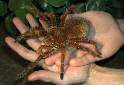 Maior-aranha-do-mundo