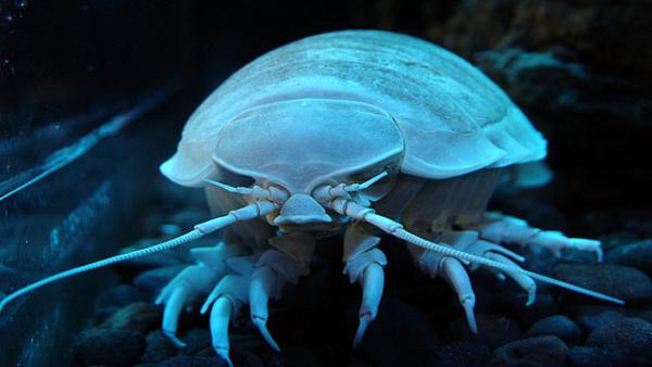 giantisopod
