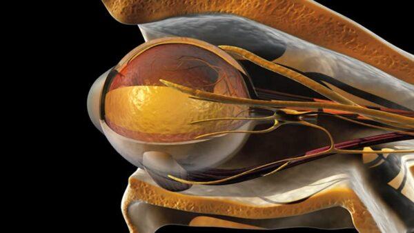 141201984-musculo-oblicuo-orbita-ocular-musculo-recto-cornea