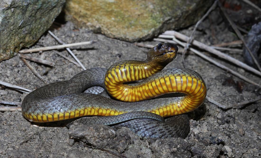 Resultado de imagem para Cobra-de-barriga-amarela ou taipan-do-interior