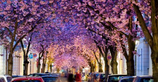 4abr2014---cerejeiras-floridas-sao-vistas-em-rua-de-bonn-oeste-da-alemanha-1396611598482_956x500