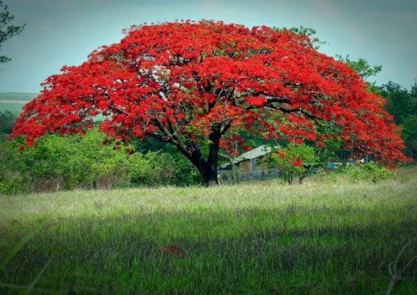 AJUST 21_01_14 O Flamboyant é uma árvore de origem Africana, considerada uma das mais belas do mundo_ Crédido Aender m_f