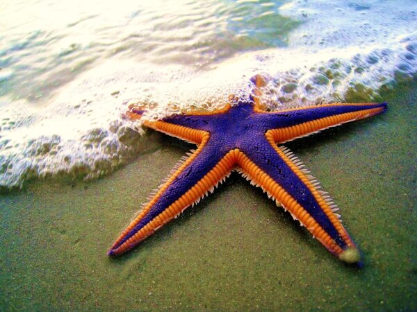 Royal_starfish_(Astropecten_articulatus)_on_the_beach