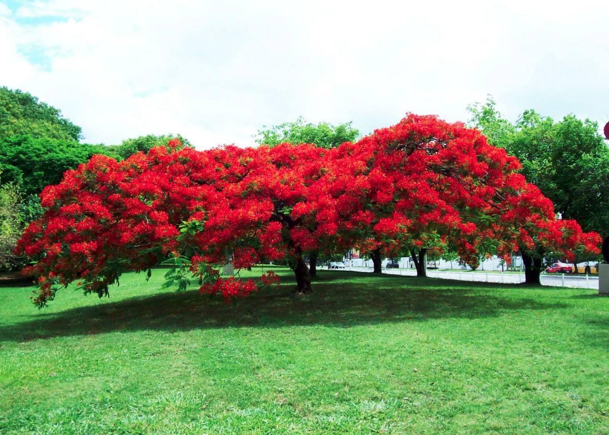 ipe de jardim arvore : ipe de jardim arvore:sementes-de-flamboyant-vermelho-para-mudas-ou-arvore-21811