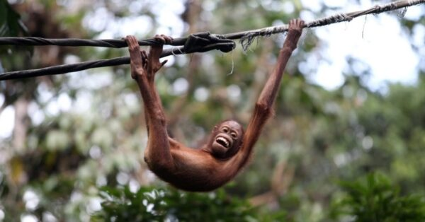 5jul2013---filhote-de-orangotango-brinca-em-corda-no-santuario-sepilok-que-abriga-macacos-da-especie-na-parte-malasiana-do-borneu-1373029499888_956x500