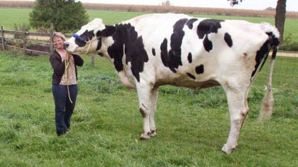 Blosom-worlds-biggest-cow
