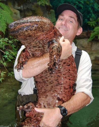 Chinese-giant-salamanders