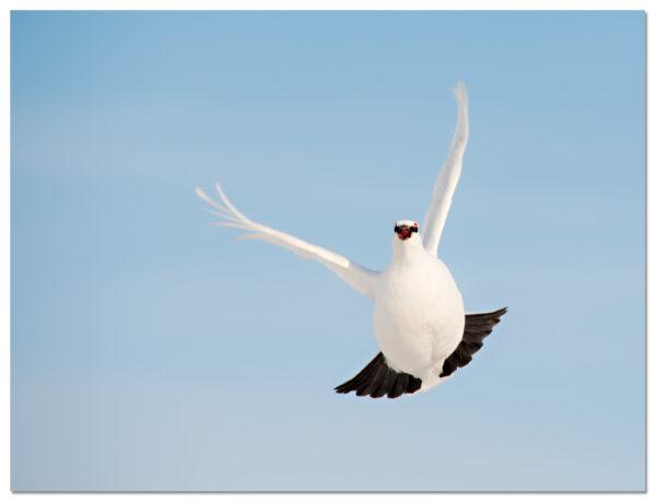 Rock-Ptarmigan-flight-Perdiz-nival-Alpensneeuwhoen-Lagopus-muta-Svalbard
