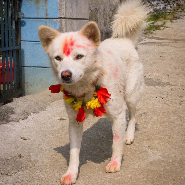 b521a-diwali-tihar-dogs-10