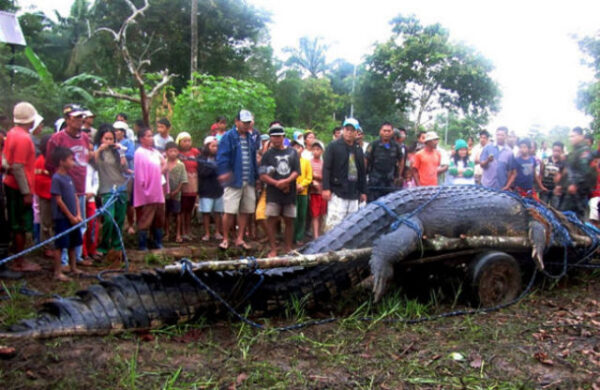 largest-crocodile