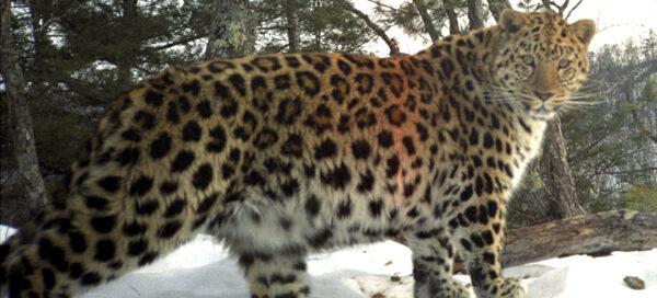 leopardo_de_amur2