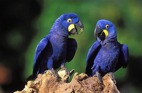 monitoramento-da-arara-azul-4