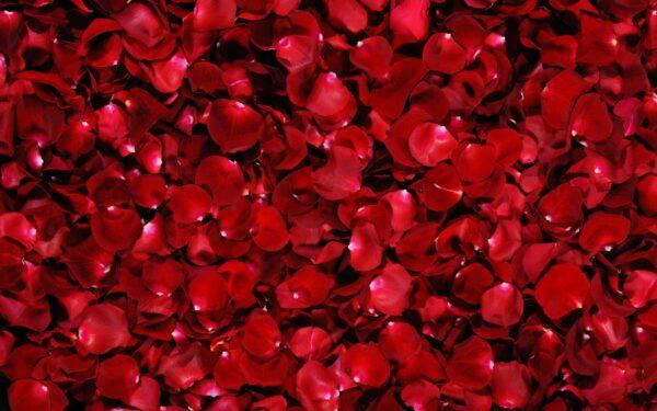 rosepetals-299892