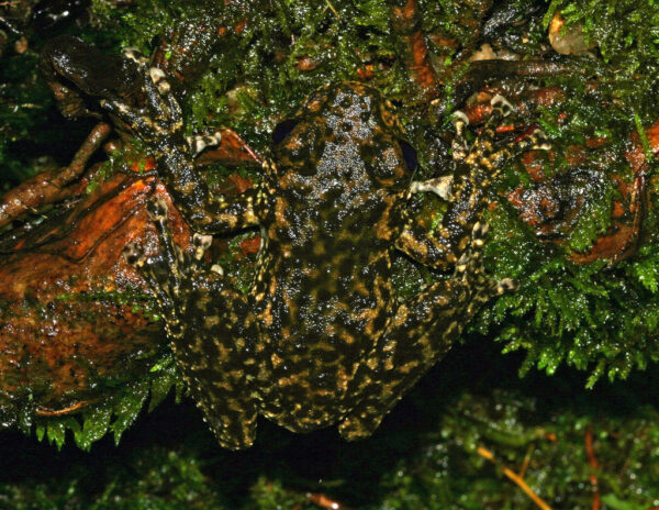 Litoria_nannotis_camouflage