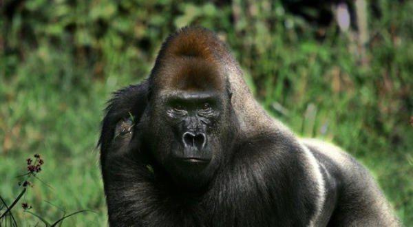 gorila-entre-as-mordidas-mais-poderosas