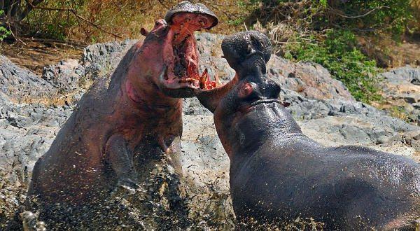 hipopotamo-entre-as-mordidas-mais-poderosas