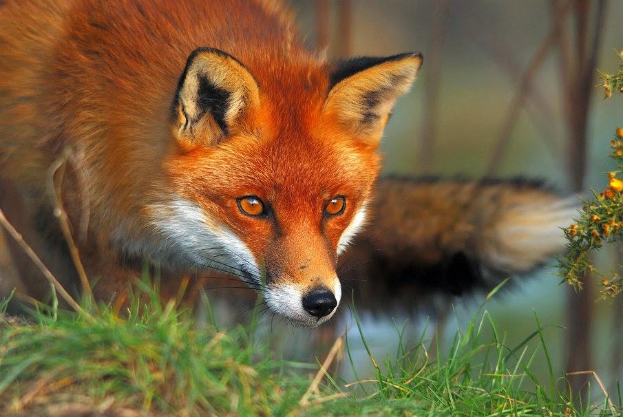 raposa 1