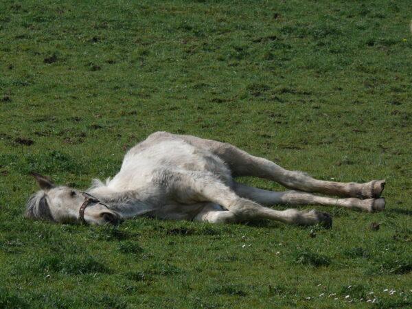 1280px-Grey_horse_lying_down_in_field