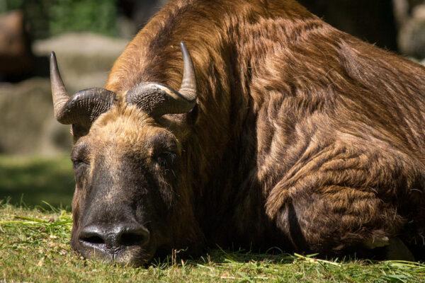 Bull sleeping in Grass, Close Up