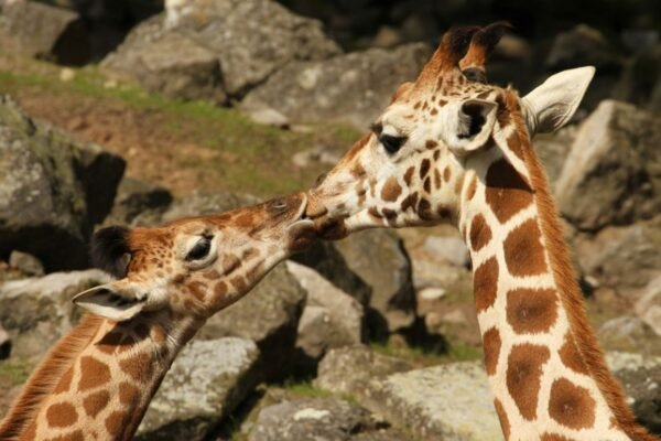 fotos-de-animais-se-beijando-girafas