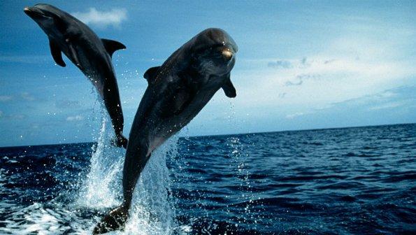 golfinho-nariz-de-garrafa-620-size-598