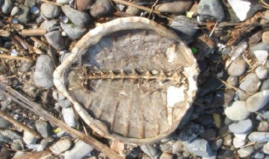 tartarugas-pisco-1