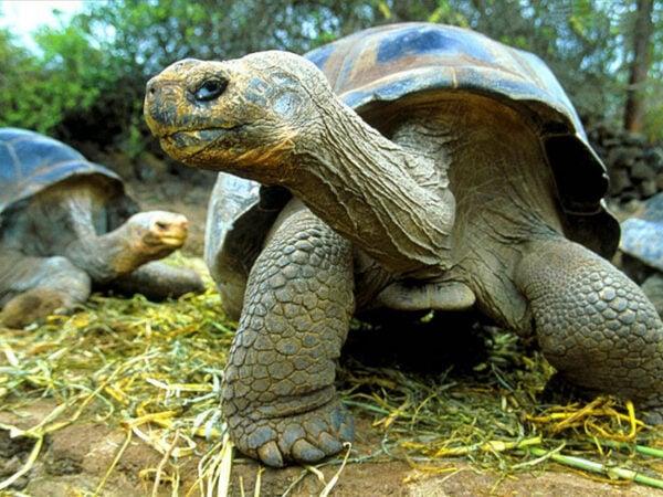 tartarugas-terrestres