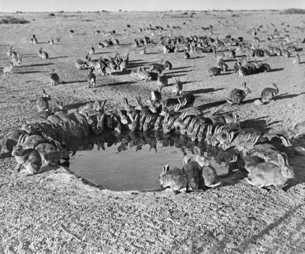 Rabbits_MyxomatosisTrial_WardangIsland_1938