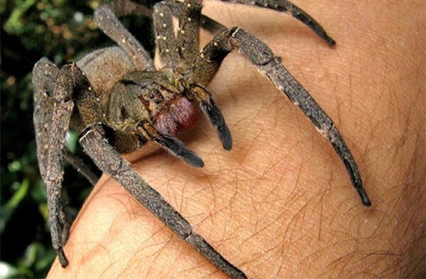 giant-spiders-141021-brazilian-wandering-21