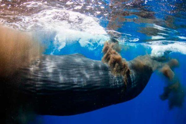 Mergulhador-cocô-baleia-1