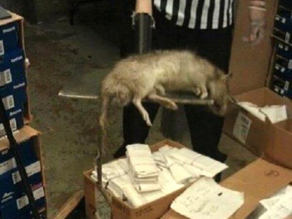 rato gigante