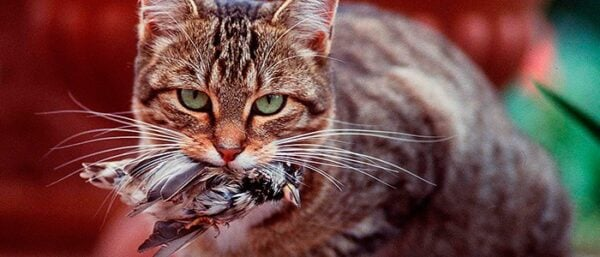 gato-tras-pombo-de-presente