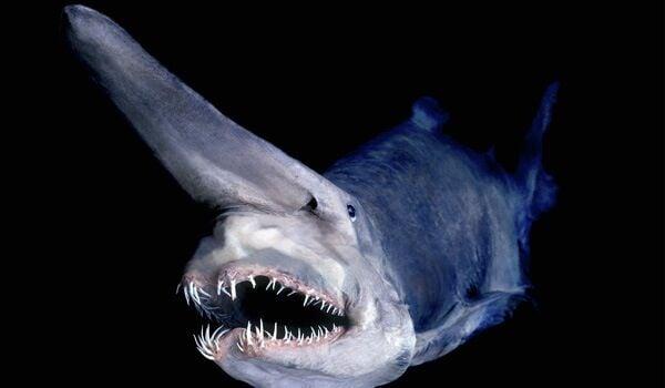 goblin shark Mitsukurina owstoni Japan (specimen / digitally manipulated) David Shen / SeaPics.com