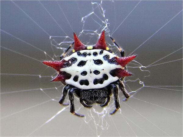 Aranha-espinhosa1