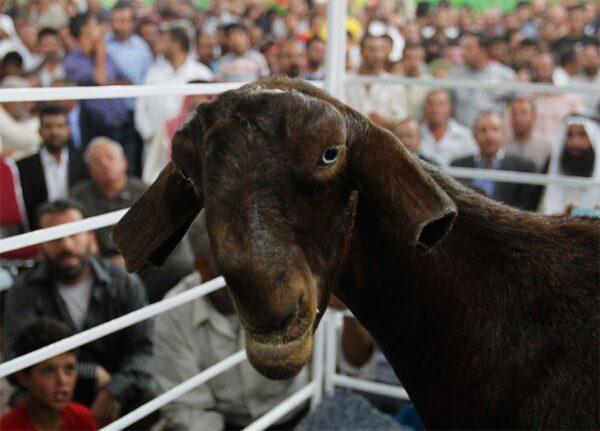damacene-goat-cropped-ears-838x602