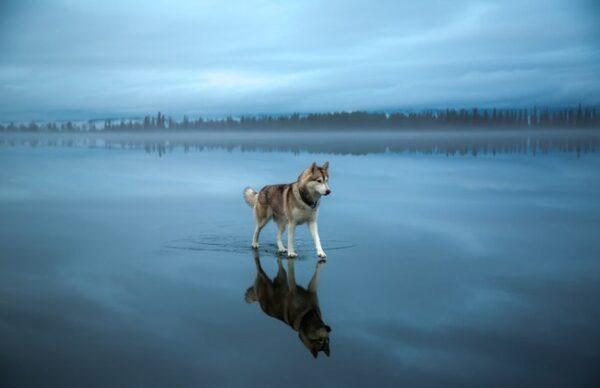 203005-650-1453558640-siberian-husky-on-a-frozen-lake_0