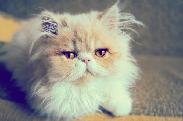 Beautiful persian cat .Photo toned style instagram filters