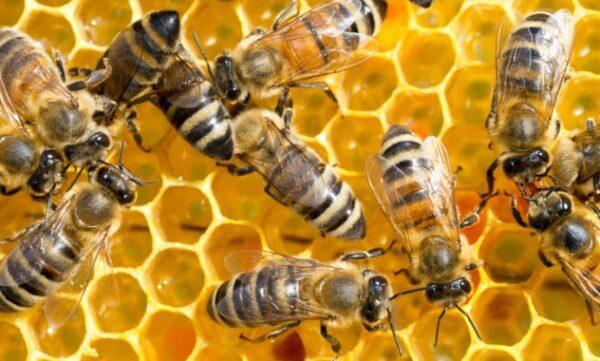 5a honeybees 1012200188