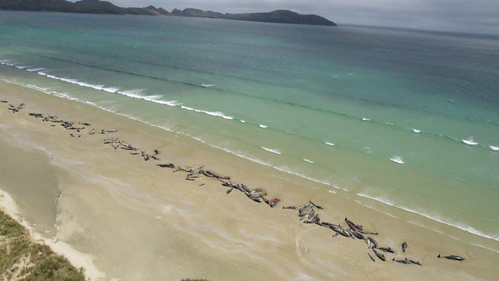 Tem Na Web - 145 baleias mortas em ilha da Nova Zelândia deixaram especialistas assustados