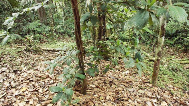 Tem Na Web - Conheça o jardins do diabo, uma árvore amazônica que pode ser mortal