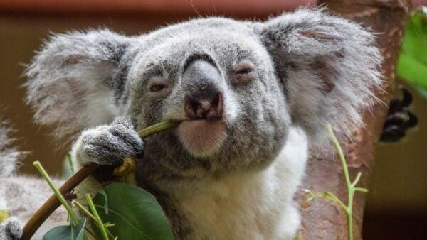 koalas only food hates them 1546466011