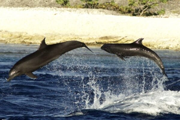golfinho3